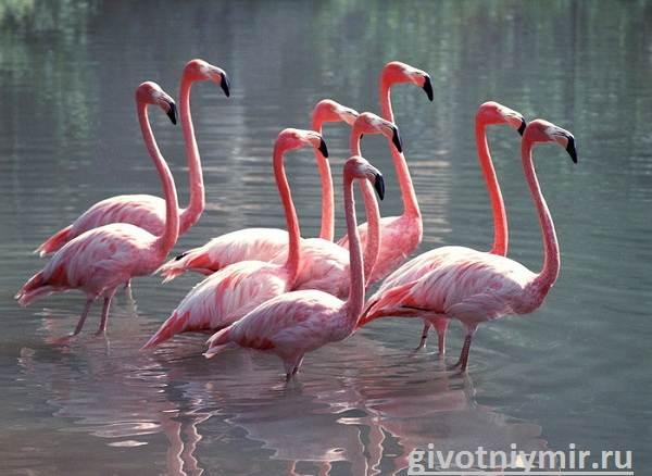 Фламинго-Среда-обитания-и-образ-жизни-фламинго-2