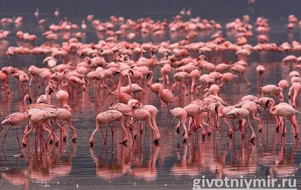 Фламинго-Среда-обитания-и-образ-жизни-фламинго-3