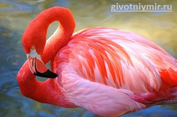 Фламинго-Среда-обитания-и-образ-жизни-фламинго-4