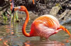 Фламинго. Среда обитания и образ жизни фламинго