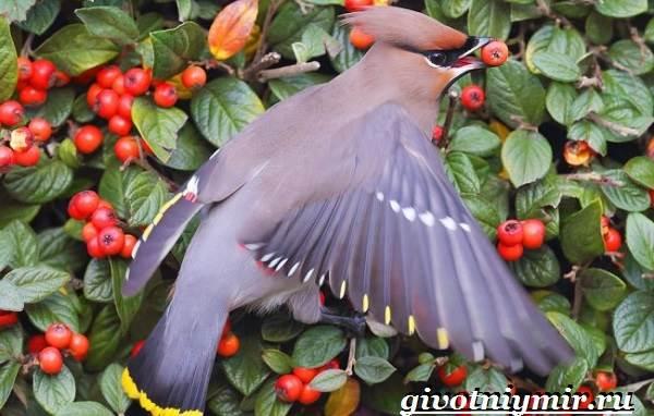 Свиристель-птица-Описание-среда-обитания-и-образ-жизни-свиристели-2