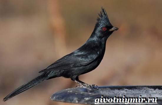 Свиристель-птица-Описание-среда-обитания-и-образ-жизни-свиристели-3