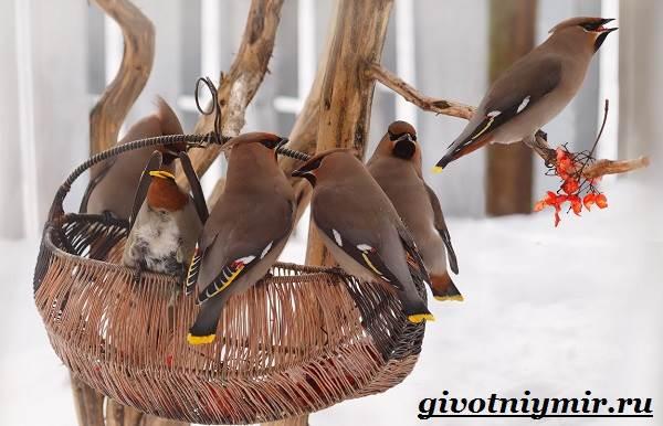 Свиристель-птица-Описание-среда-обитания-и-образ-жизни-свиристели-4