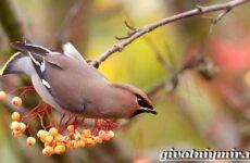 Свиристель птица. Описание, среда обитания и образ жизни свиристели