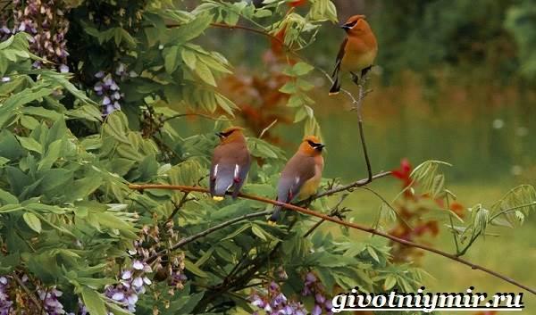Свиристель-птица-Описание-среда-обитания-и-образ-жизни-свиристели-8