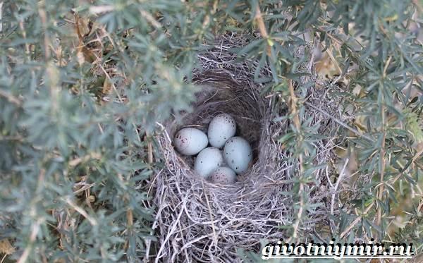 Свиристель-птица-Описание-среда-обитания-и-образ-жизни-свиристели-9