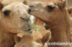 Дромадер верблюд. Особенности и среда обитания дромадера
