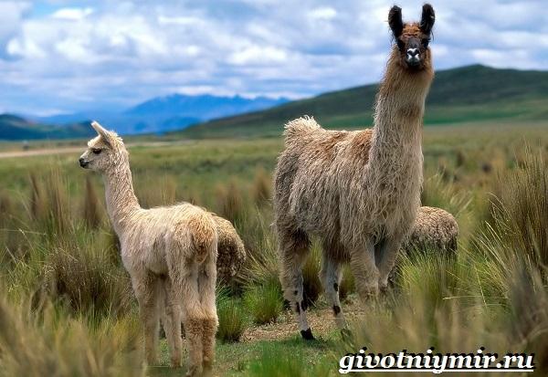 Лама-Среда-обитания-и-особенности-ламы-10