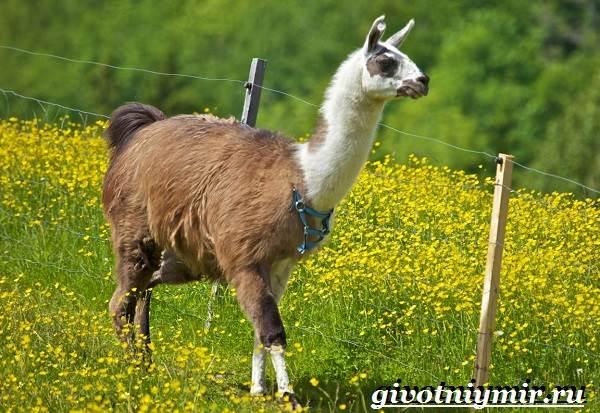 Лама-Среда-обитания-и-особенности-ламы-11