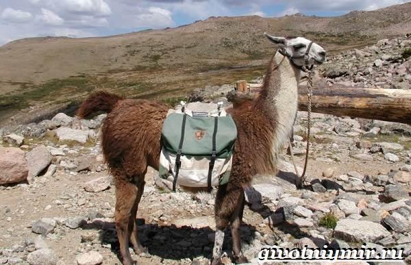 Лама-Среда-обитания-и-особенности-ламы-12