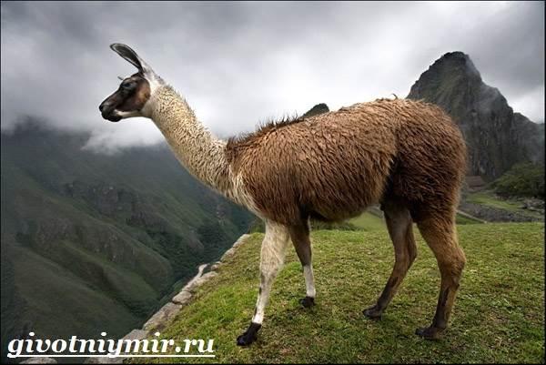 Лама-Среда-обитания-и-особенности-ламы
