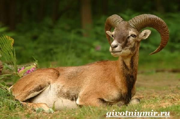 Муфлон-Среда-обитания-и-особенности-муфлона-2