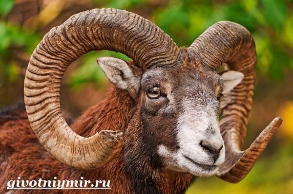 Муфлон-Среда-обитания-и-особенности-муфлона-3
