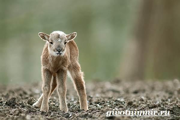 Муфлон-Среда-обитания-и-особенности-муфлона-5