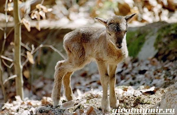 Муфлон-Среда-обитания-и-особенности-муфлона-6