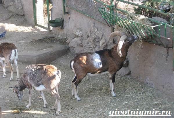 Муфлон-Среда-обитания-и-особенности-муфлона-7