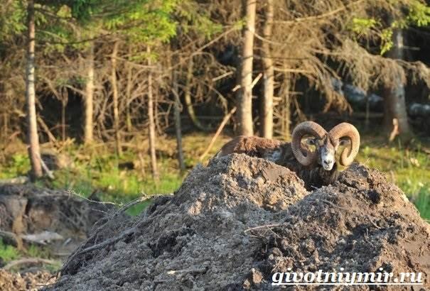 Муфлон-Среда-обитания-и-особенности-муфлона-8