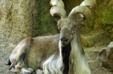 Винторогий козёл. Образ жизни и среда обитания винторогого козла
