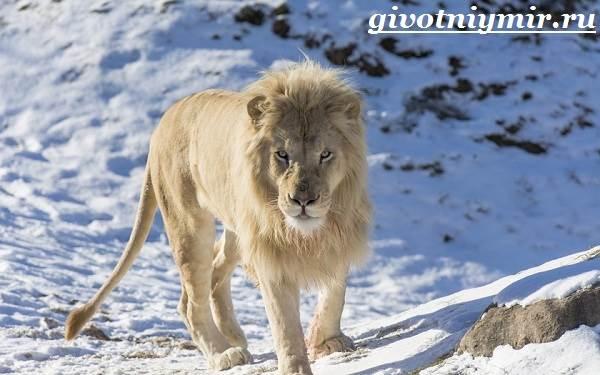 Белый-лев-Среда-обитания-и-образ-жизни-белого-льва-1