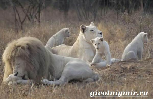 Белый-лев-Среда-обитания-и-образ-жизни-белого-льва-12