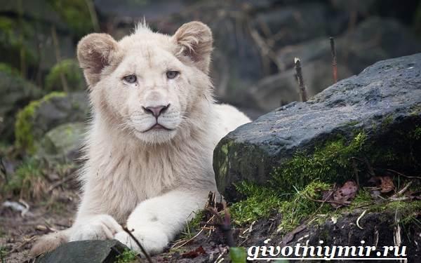 Белый-лев-Среда-обитания-и-образ-жизни-белого-льва-2