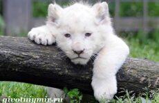 Белый лев. Среда обитания и образ жизни белого льва