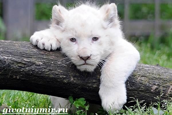 Белый-лев-Среда-обитания-и-образ-жизни-белого-льва-3