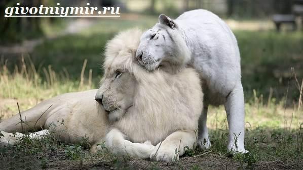 Белый-лев-Среда-обитания-и-образ-жизни-белого-льва-5