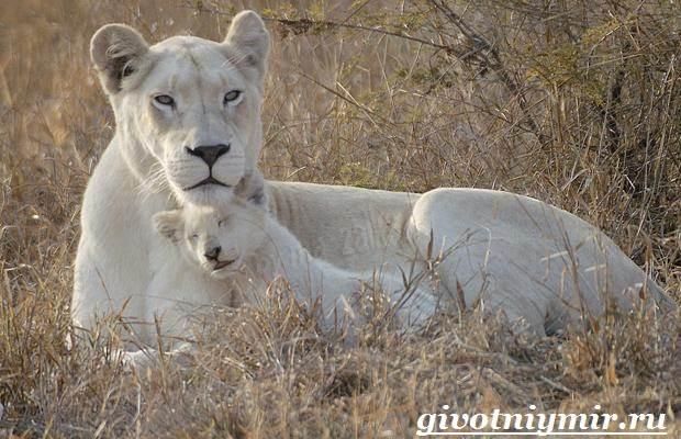 Белый-лев-Среда-обитания-и-образ-жизни-белого-льва-6