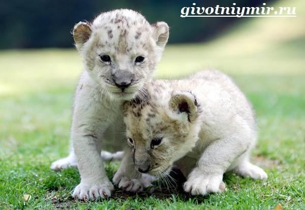 Белый-лев-Среда-обитания-и-образ-жизни-белого-льва-8
