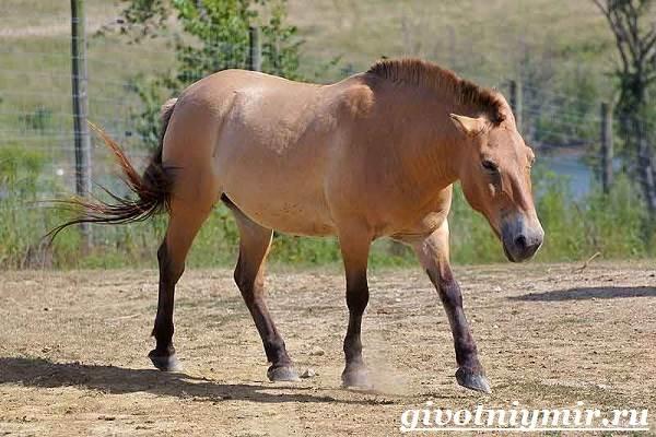 Лошадь-Пржевальского-Среда-обитания-и-образ-жизни-лошади-Пржевальского-1