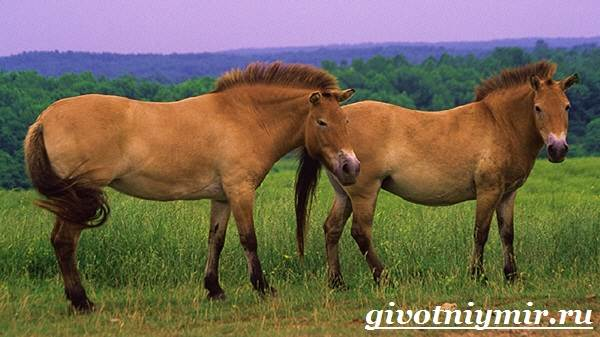 Лошадь-Пржевальского-Среда-обитания-и-образ-жизни-лошади-Пржевальского-3