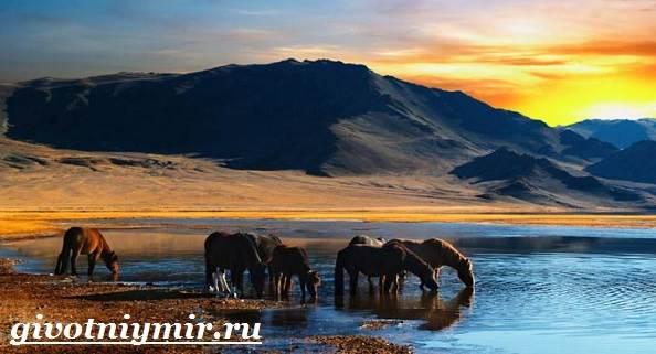 Лошадь-Пржевальского-Среда-обитания-и-образ-жизни-лошади-Пржевальского-4