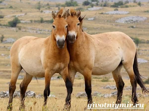 Лошадь-Пржевальского-Среда-обитания-и-образ-жизни-лошади-Пржевальского-5