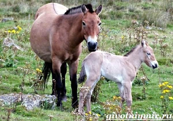 Лошадь-Пржевальского-Среда-обитания-и-образ-жизни-лошади-Пржевальского-6
