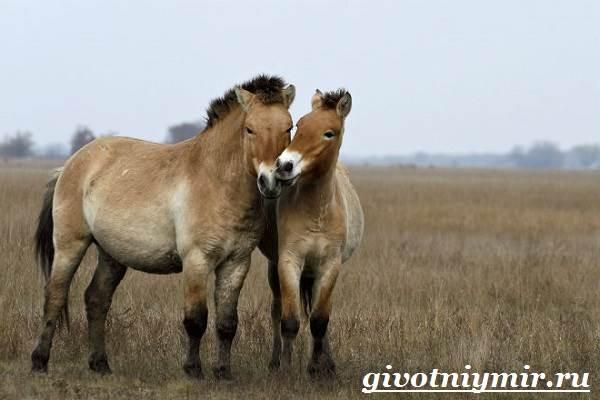 Лошадь-Пржевальского-Среда-обитания-и-образ-жизни-лошади-Пржевальского-7