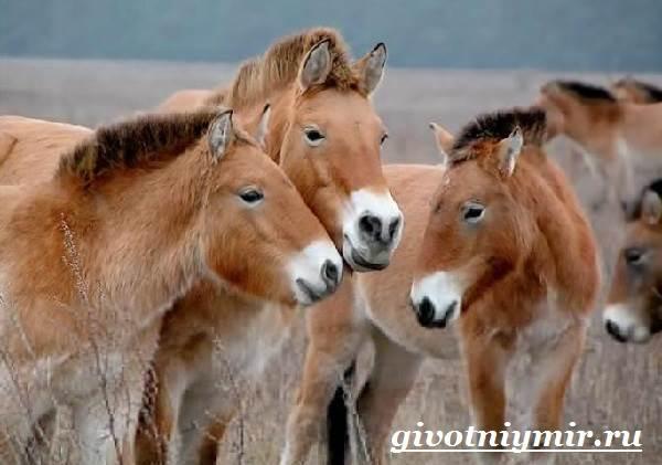 Лошадь-Пржевальского-Среда-обитания-и-образ-жизни-лошади-Пржевальского-9