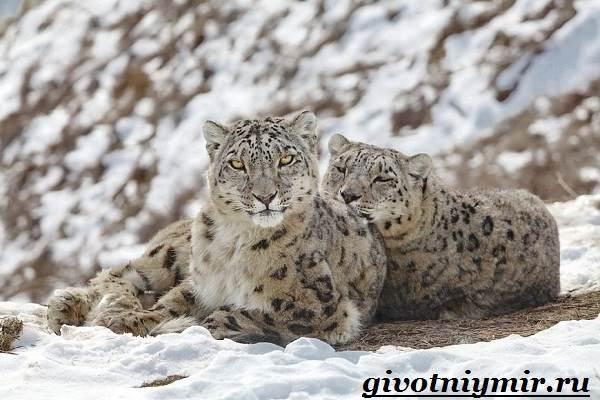 Снежный-барс-Среда-обитания-и-образ-жизни-снежного-барса-5