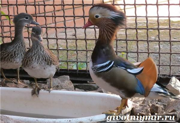 Утка-мандаринка-Среда-обитания-и-образ-жизни-утки-мандаринки-10