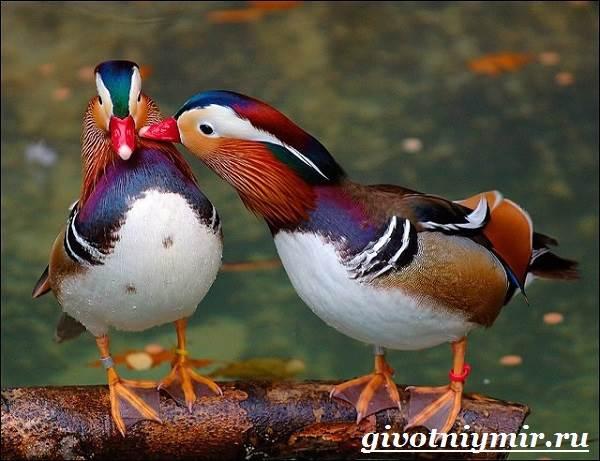 Утка-мандаринка-Среда-обитания-и-образ-жизни-утки-мандаринки-12