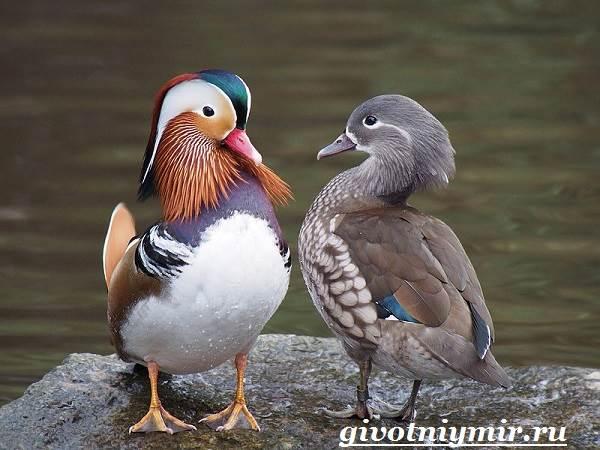 Утка-мандаринка-Среда-обитания-и-образ-жизни-утки-мандаринки-2
