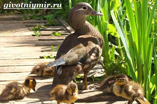 Утка-мандаринка-Среда-обитания-и-образ-жизни-утки-мандаринки-6