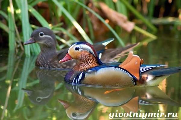 Утка-мандаринка-Среда-обитания-и-образ-жизни-утки-мандаринки-7