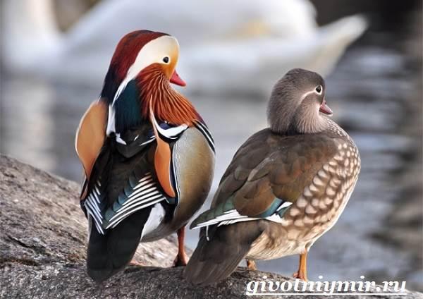Утка-мандаринка-Среда-обитания-и-образ-жизни-утки-мандаринки-8