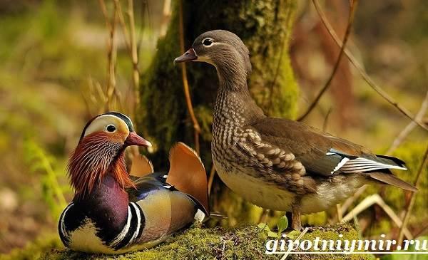 Утка-мандаринка-Среда-обитания-и-образ-жизни-утки-мандаринки-9