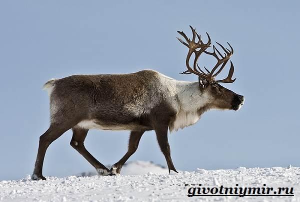 Животные-Красной-книги-России-25