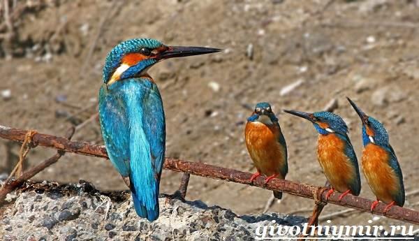 птицы зимородок фото