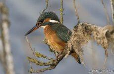 Зимородок. Среда обитания и образ жизни птицы зимородок