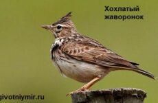 Жаворонок птица. Образ жизни и среда обитания жаворонка