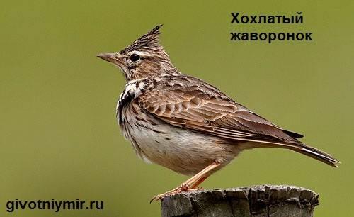Жаворонок-птица-Образ-жизни-и-среда-обитания-жаворонка-1